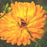 大きなキンセンカの花