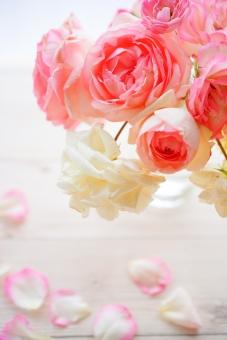 白とピンクの薔薇