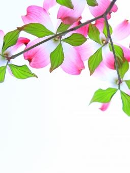 ピンク色のハナミズキ